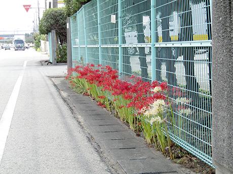 道路沿いに咲いた彼岸花
