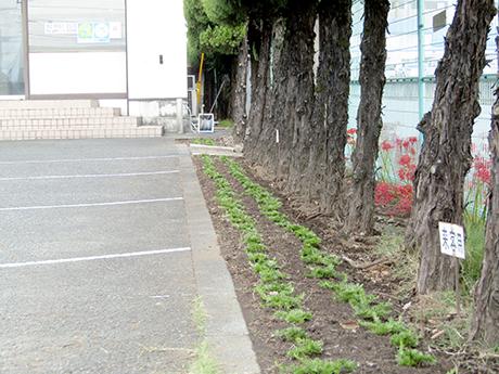 玄関前に植えた芝桜