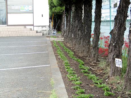 昨年、彼岸花の時期に苗植え