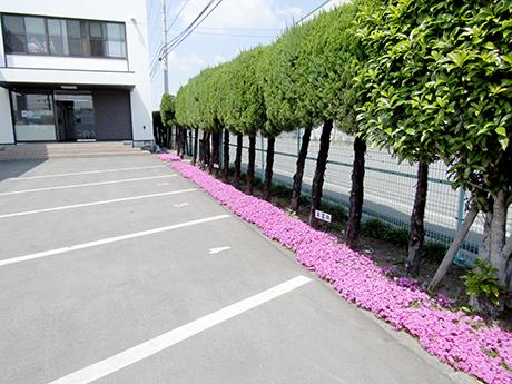 本社玄関前に咲いた芝桜