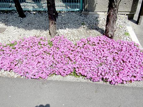 密生状態の開花